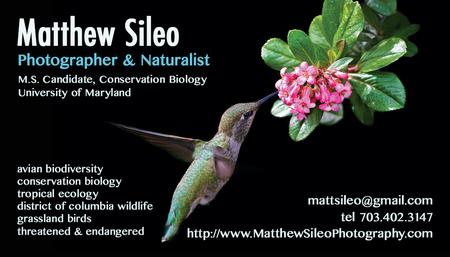 Business Card Design Matthew Sileo Photography Birds Wildlife Ecology Conservation