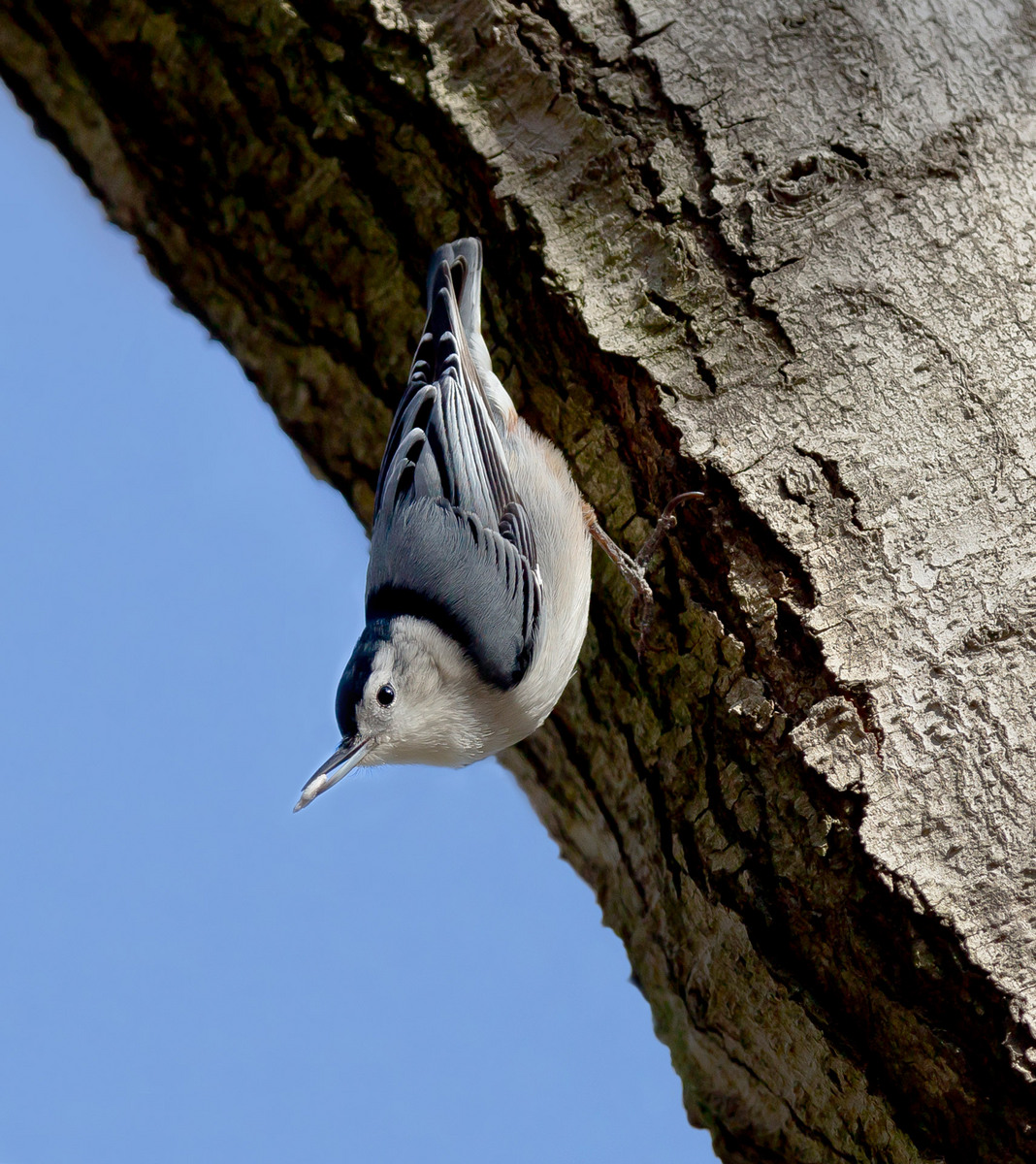 White-breasted Nuthatch (2) (Vienna)