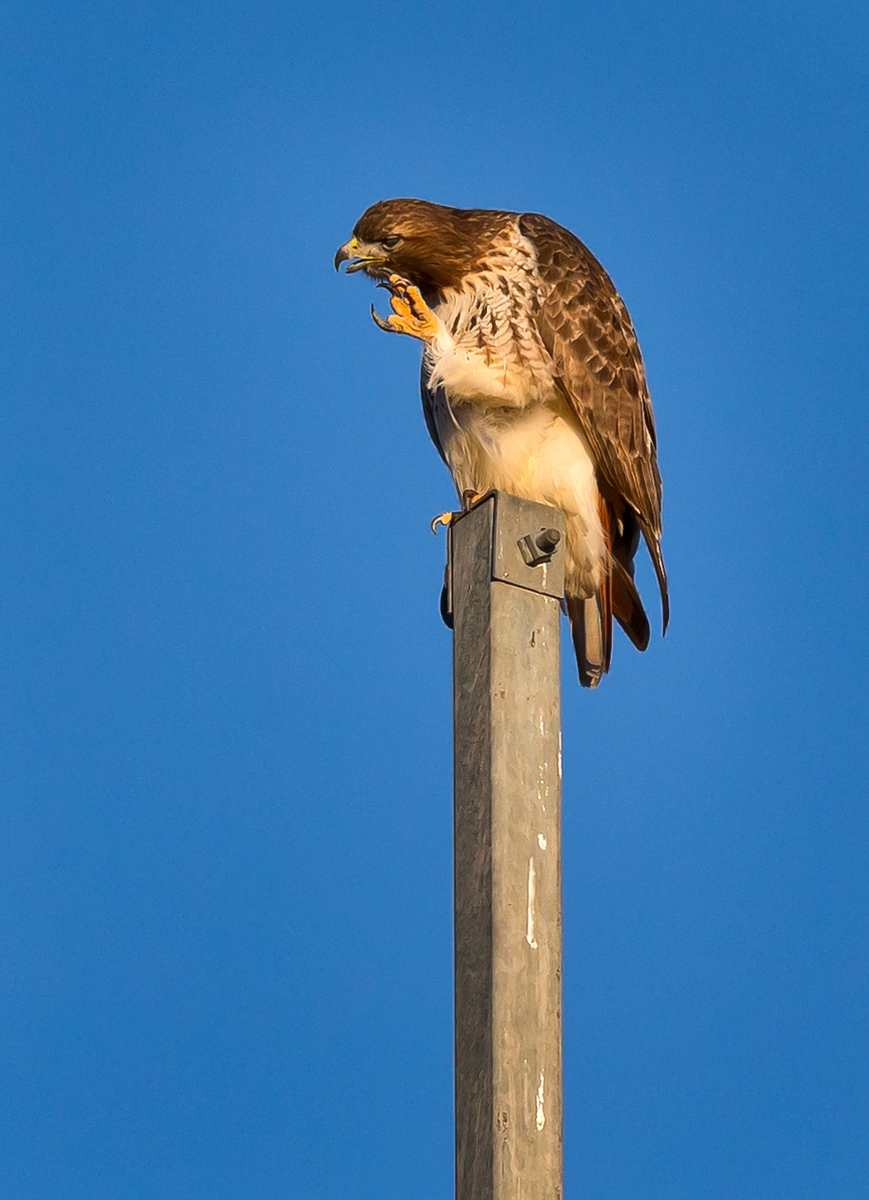 Red-tailed Hawk (2) (Centreville)
