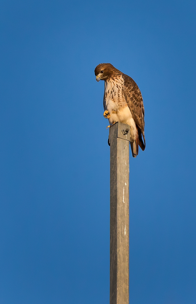 Red-tailed Hawk (1) (Centreville)