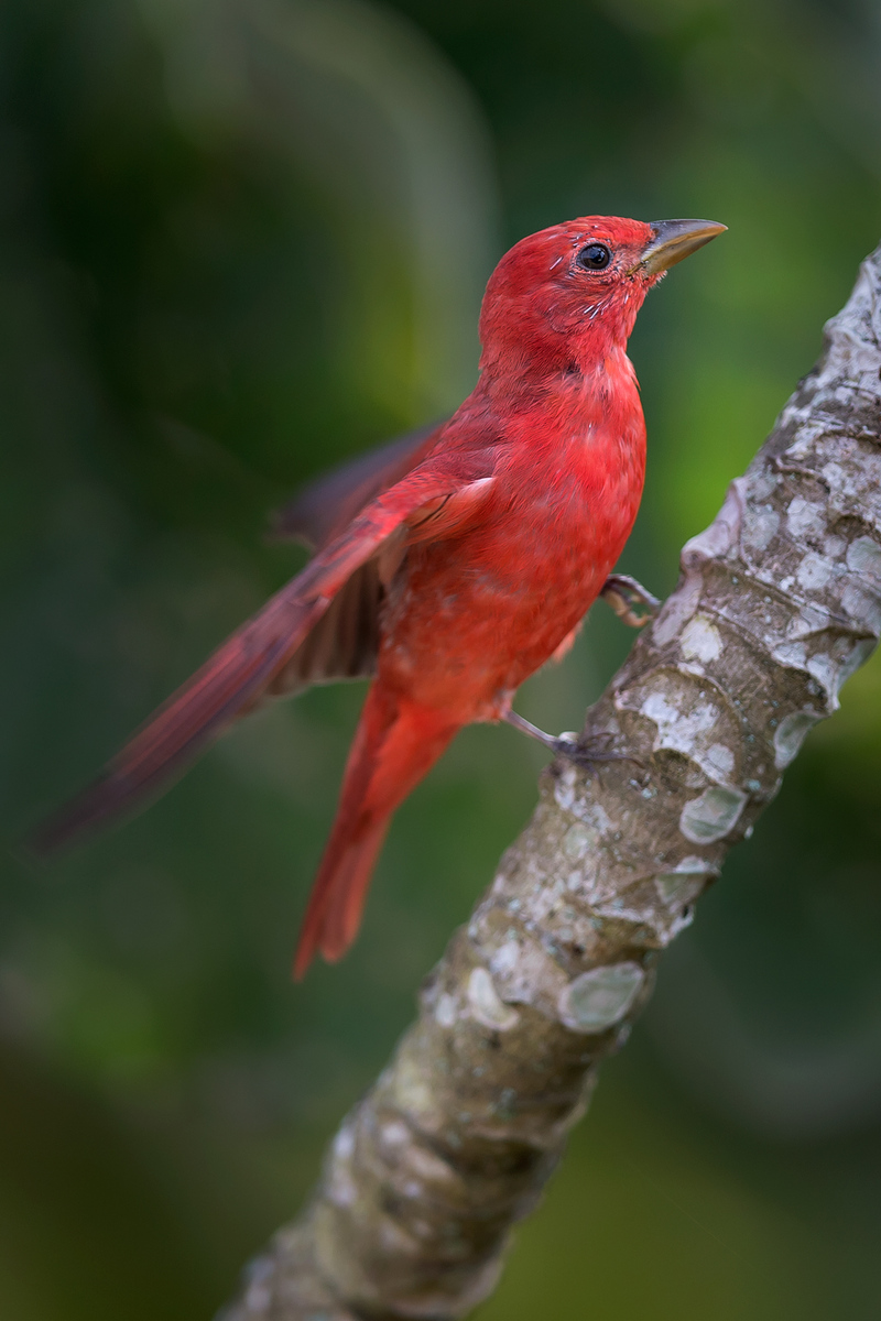 Summer Tanager (Gallery: Belize 2013: Bioluminescence)