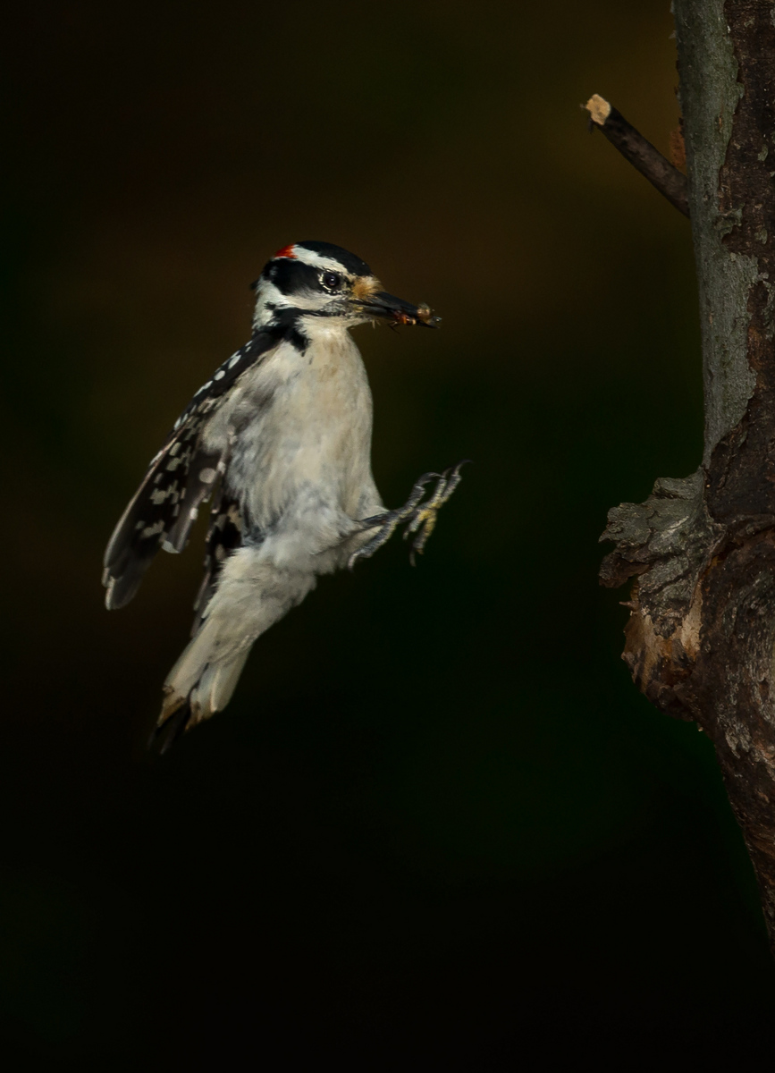 The male Hairy Woodpecker brings a Hymenopteran insect in to the nest.
