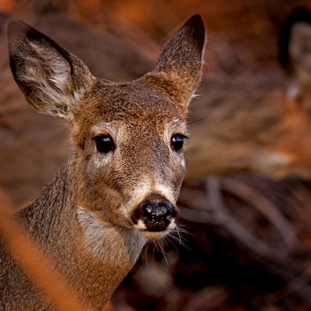 White-tailed Deer (2) (Woodend Nature Sanctuary)