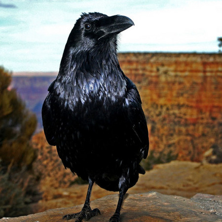 Common Raven (2) (Grand Canyon National Park)