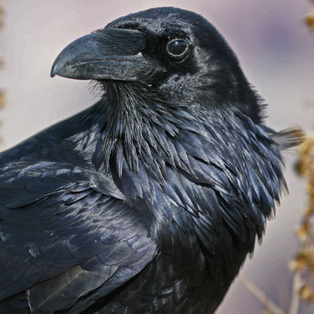 Common Raven (1) (Grand Canyon National Park)