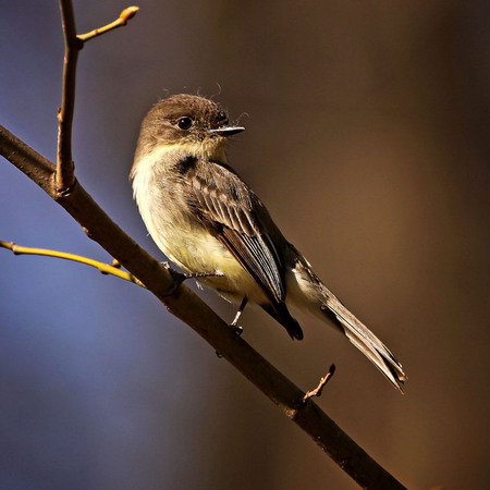 Eastern Phoebe (Woodend Nature Sanctuary)
