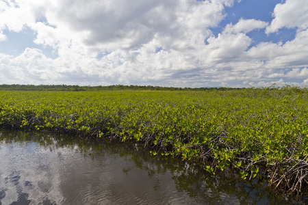 Dwarf mangrove forest adjacent to the inlet near the Caribbean- these are fully adult trees!
