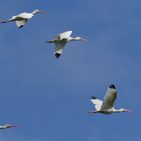 White Ibises flew overhead while we took depth and water chemistry measurements