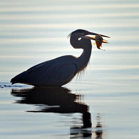 Great Blue Heron, with yellow perch (3) (Dyke Marsh)