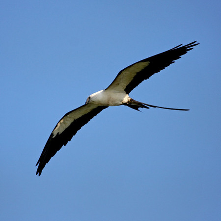 Swallow-tailed Kite (Everglades National Park)