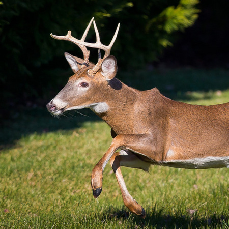 White-tailed Deer (1) (Centreville)