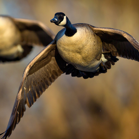 Canada Geese (Gallery: District of Columbia)