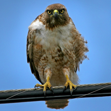 Red-tailed Hawk (Gallery: California)