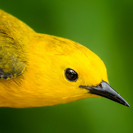 Prothonotary Warbler (7) (Huntley Meadows)