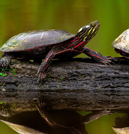 Male (left) and female (right) Painted Turtles (Huntley Meadows)