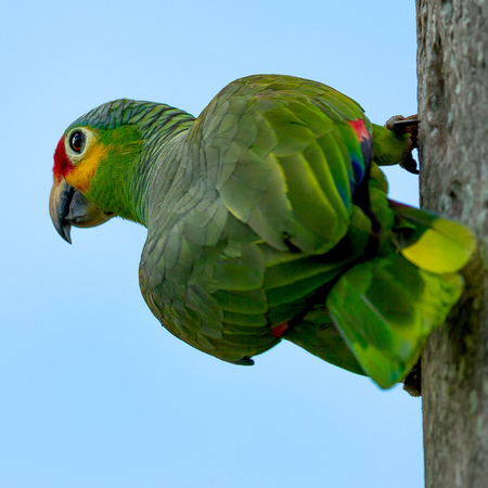 Red-lored Parrot (Belize)