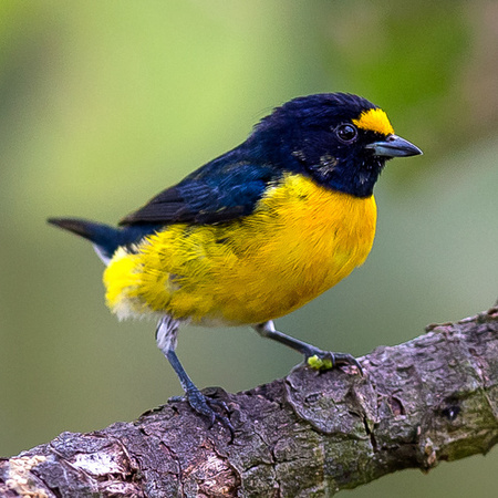 White-vented Euphonia (Belize)