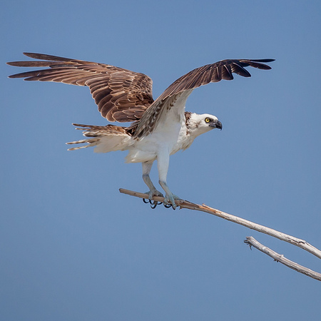 Osprey (the pale Caribbean subspecies) out on a proto-island within the Belize Barrier Reef (Gallery: Belize 2013: Bioluminescence)