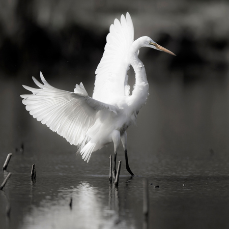 Great Egret (Gallery: District of Columbia)