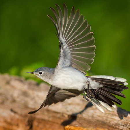 A Blue-gray Gnatcatcher spreads its wings just as I snap the photo.