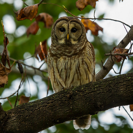 The Barred Owl looks stately as it gazes down at me from a high branch of a Tulip Poplar tree.