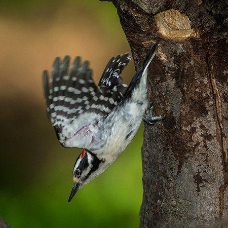 The male Hairy Woodpecker swiftly leaves the nest to hunt for more insect larvae.