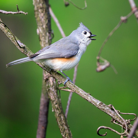 A Tufted Titmouse sings on a beautiful morning in early May.