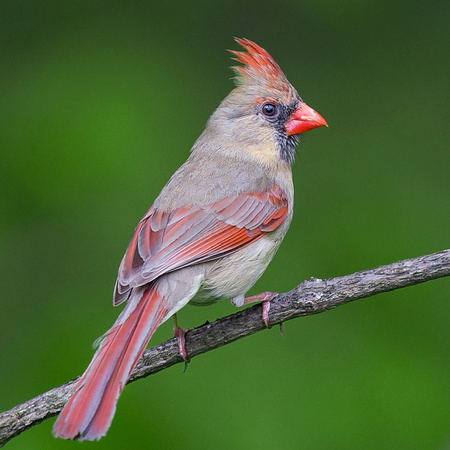 "A ""cooperative"" female Northern Cardinal poses for the camera.