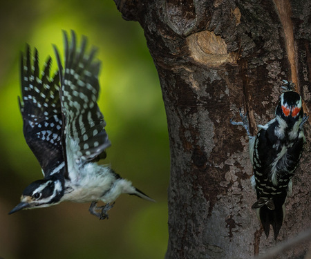 "The  female Hairy Woodpecker leaves the nest as the male shows up with a bill full of flies. This was one of their ""seamless"" transitions. 