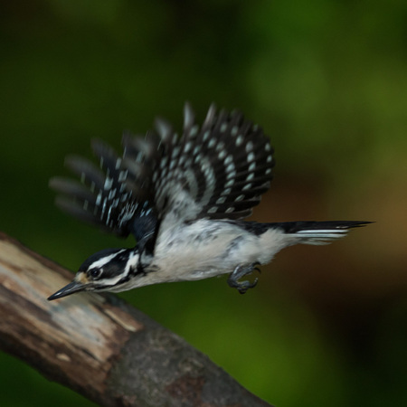 Another shot of the female Hairy Woodpecker as she leaves the nest. Unlike her mate, she tends to make quick stops in and out.