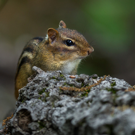 Eastern Chipmunk on a cloudy day