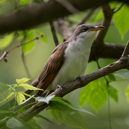 A Yellow-billed Cuckoo surprised me as I was watching the Woodpeckers.