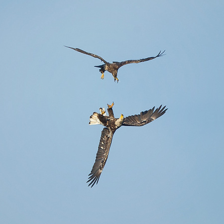 Two juvenile Bald Eagles spar in midair as an adult watches