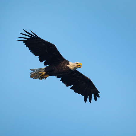 An adult Bald Eagle vocalizes