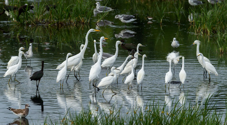 Snowy Egrets & Great Egrets surround a snapping turtle in their feeding area