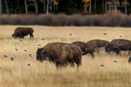 Bison and Sparrows